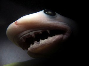 Unborn tiger shark